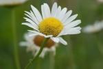 daisy_flower