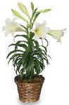 Buy Traditional Easter Lilies From A Local Florist