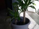 Cornplant