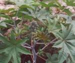 Ricinus Communis - Caster Bean