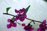 Clarkia elegans Blooms