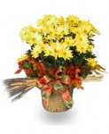 Buy Chrysanthemum From A Local Florist
