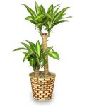Corn Plant Houseplants