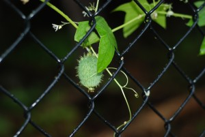 Vine and prickly seed pod