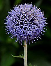 Globe Thistle Echinops Ritro Is A Striking Perennial That Requires Full Sun And Very Drought Tolerant Perfectly Round Flower Heads Bloom On Tall Stems