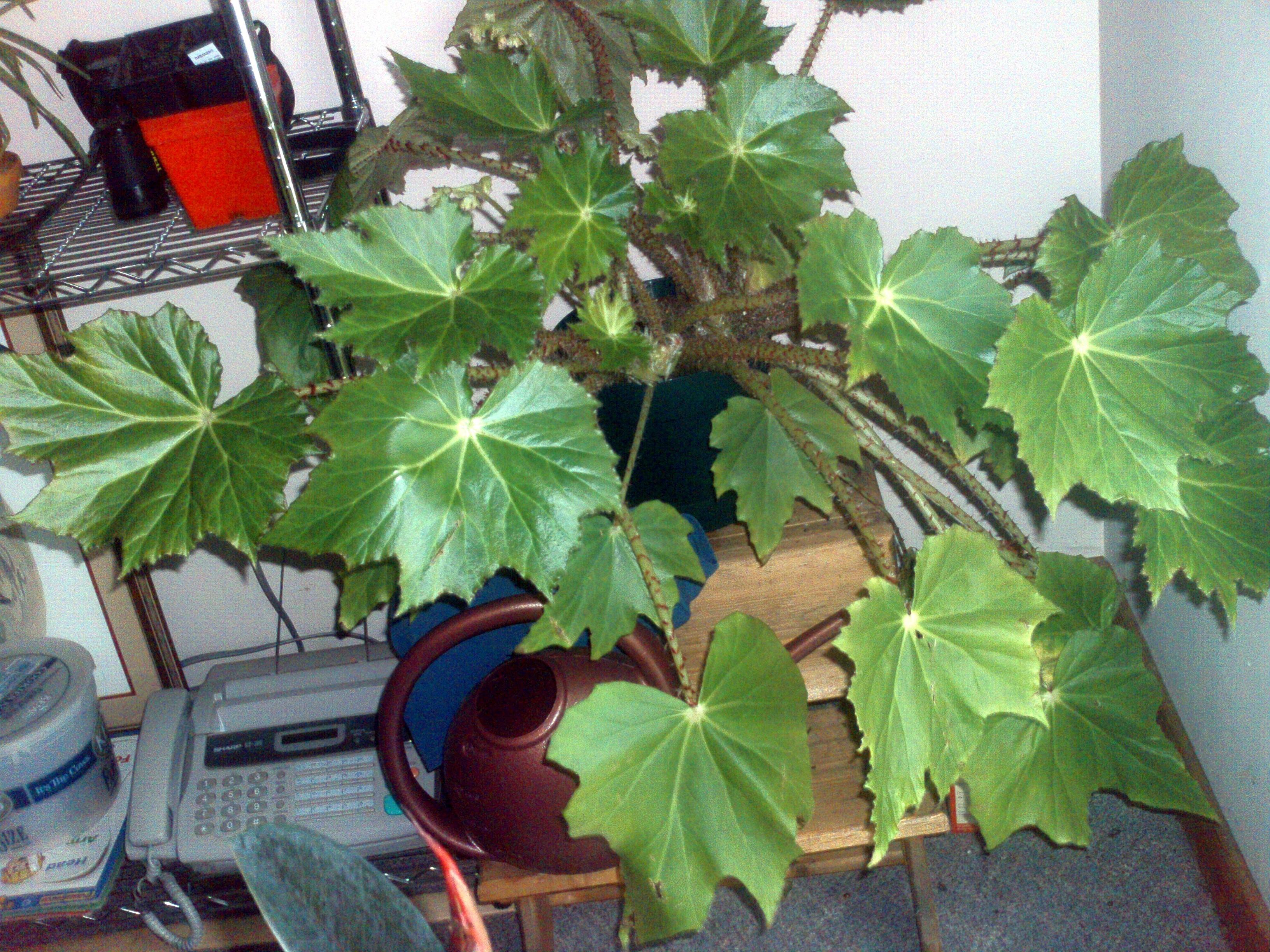 flowering house plants identification identify begonia plant
