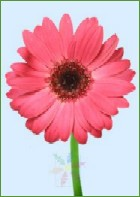 Single Pink Gerbera Daisy