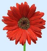 Gerbera Displayed As A Single Red Flower