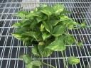 Golden Pothos (Picture provided by Bernecker's Nursery)