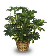 photo of variegated dwarf schefflera - Identifying Common House Plants