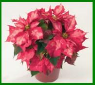 Hot Pink Poinsettia From Ecke Ranch