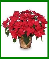 Red Christmas Poinsettia in a Wicker Basket