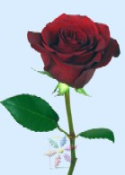 Single stem of a red rose