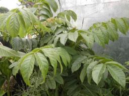 Possible Mountain Karee - Rhus leptodictya