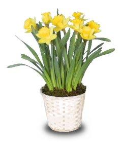 Potted Daffodils (Narcissus) sometimes called jonquils