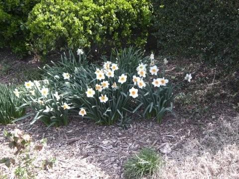 Spring Daffodils - Narcisscus