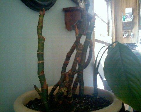 Stressed Peace Lily Stems