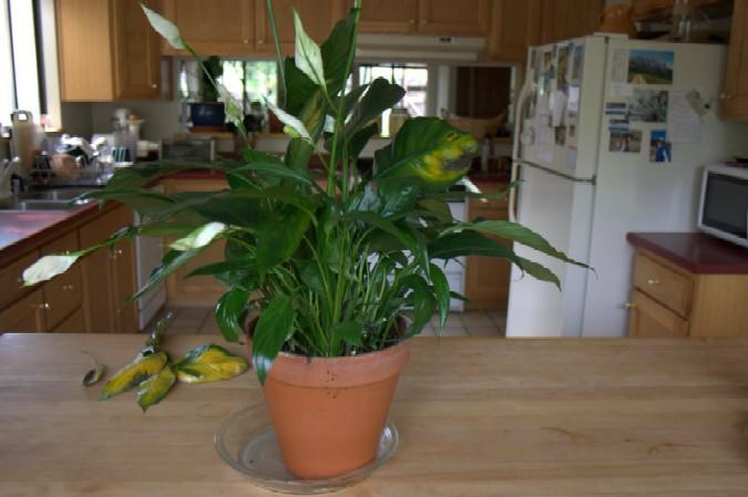 Stressed Peace Lily Plant on wilted rose plant, wilted ivy plant, wilted boston fern plant, wilted daisy plant, wilted pothos plant, wilted poppy plant, wilted aloe vera plant,