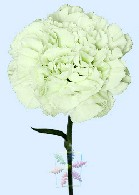 Single stem of White Carnation the official Mothers Day flower