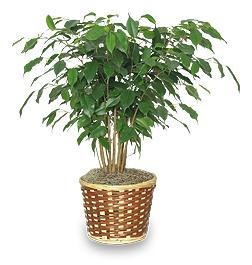 Benjamin Fig - Ficus Benjamina