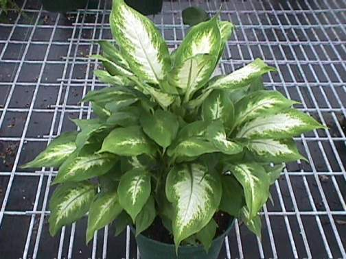 dieffenbachia photo from berneckers plant identification - House Plant Identification By Leaf