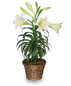 Photo of an Easter lily houseplant
