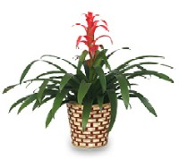 Indoor Bromeliad Care