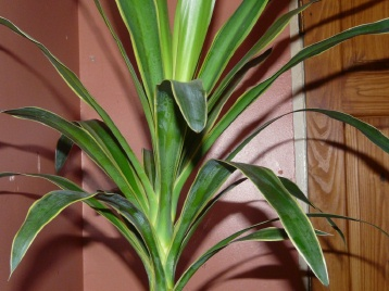 Draceana Is The Name Of Your Houseplant