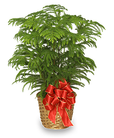 Holiday Norfolk Island Pine