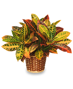 Colorful Croton Houseplant