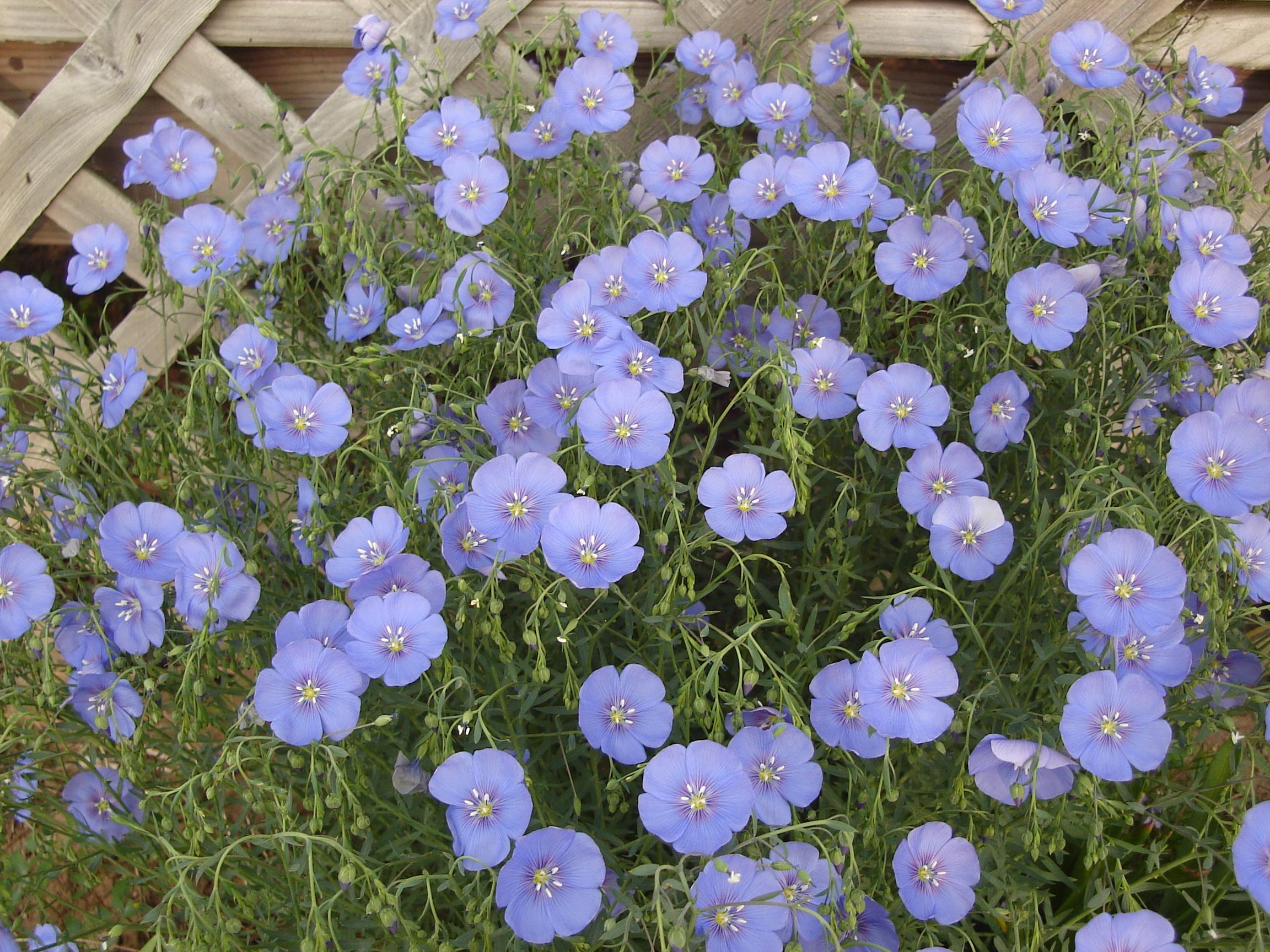 What is the blue flower perennial blue linum izmirmasajfo