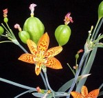 Belamcanda chinesis Blackberry Lily From Cal' Plant Of The Week