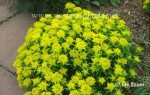 Euphorbia Poly Chroma Midas - Image From Erv Evans NC State University