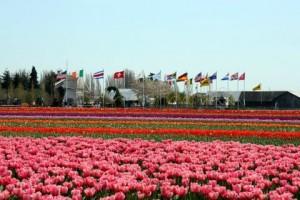 Pink Tulip Field