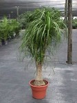 Pony Tail Palm (Beaucarnea recurvata) From Bernecker's Nursery