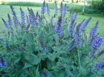 Salvia x sylvestris 'May Knight'