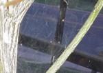 Spider Mite Webbing