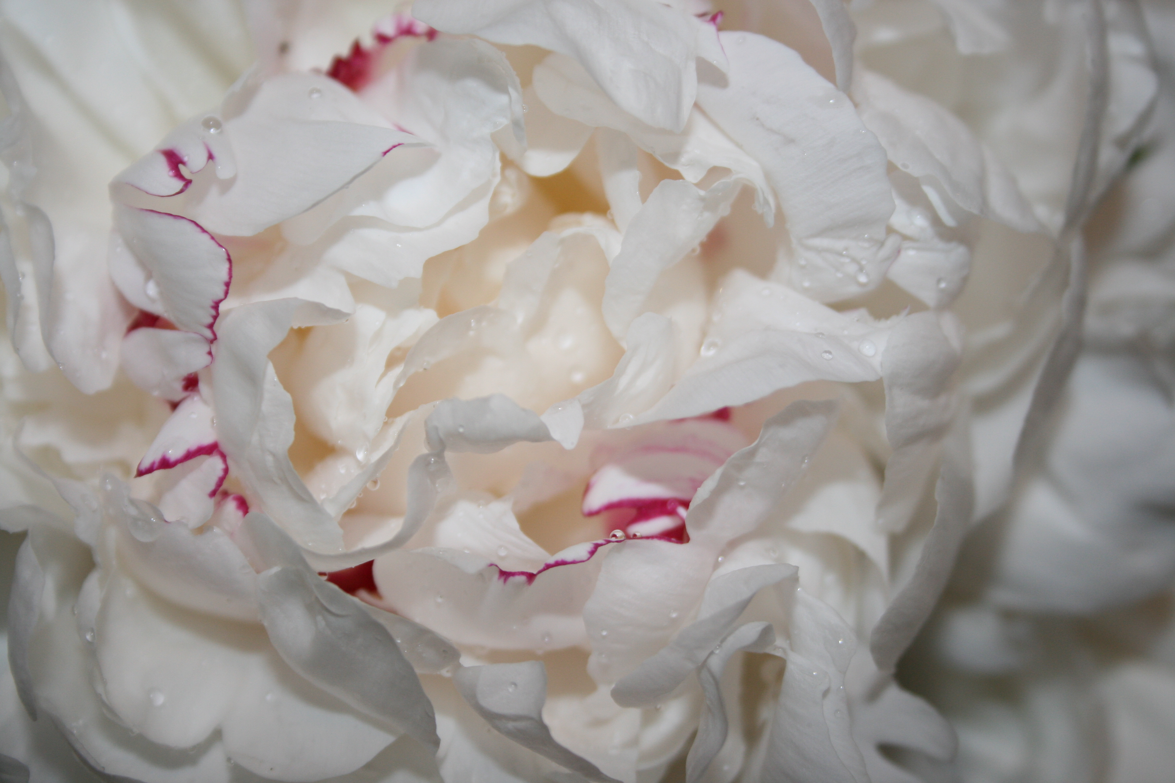 The beauty of white peonies white peony bloom mightylinksfo