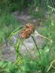 Spent Bloom Of Allium - Wild Onion