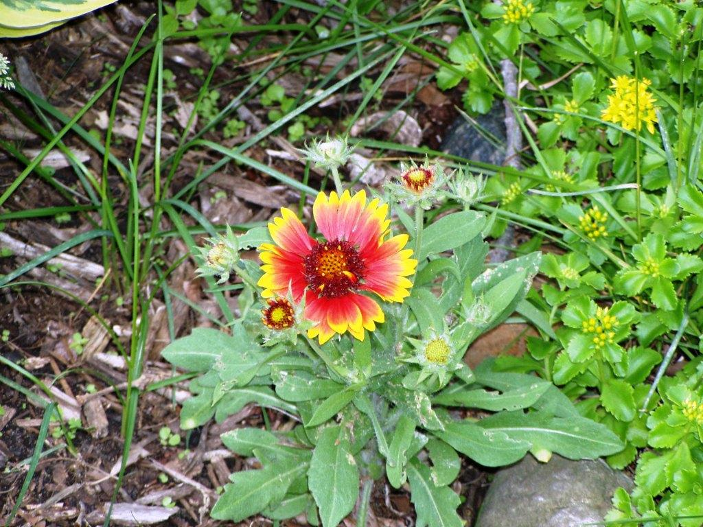 Blanket Flower Is Always Covered With Blooms