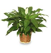 House Plants for the Wood Element of Feng Shui