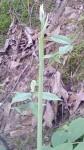 Hymenocallis caroliniana Stalk