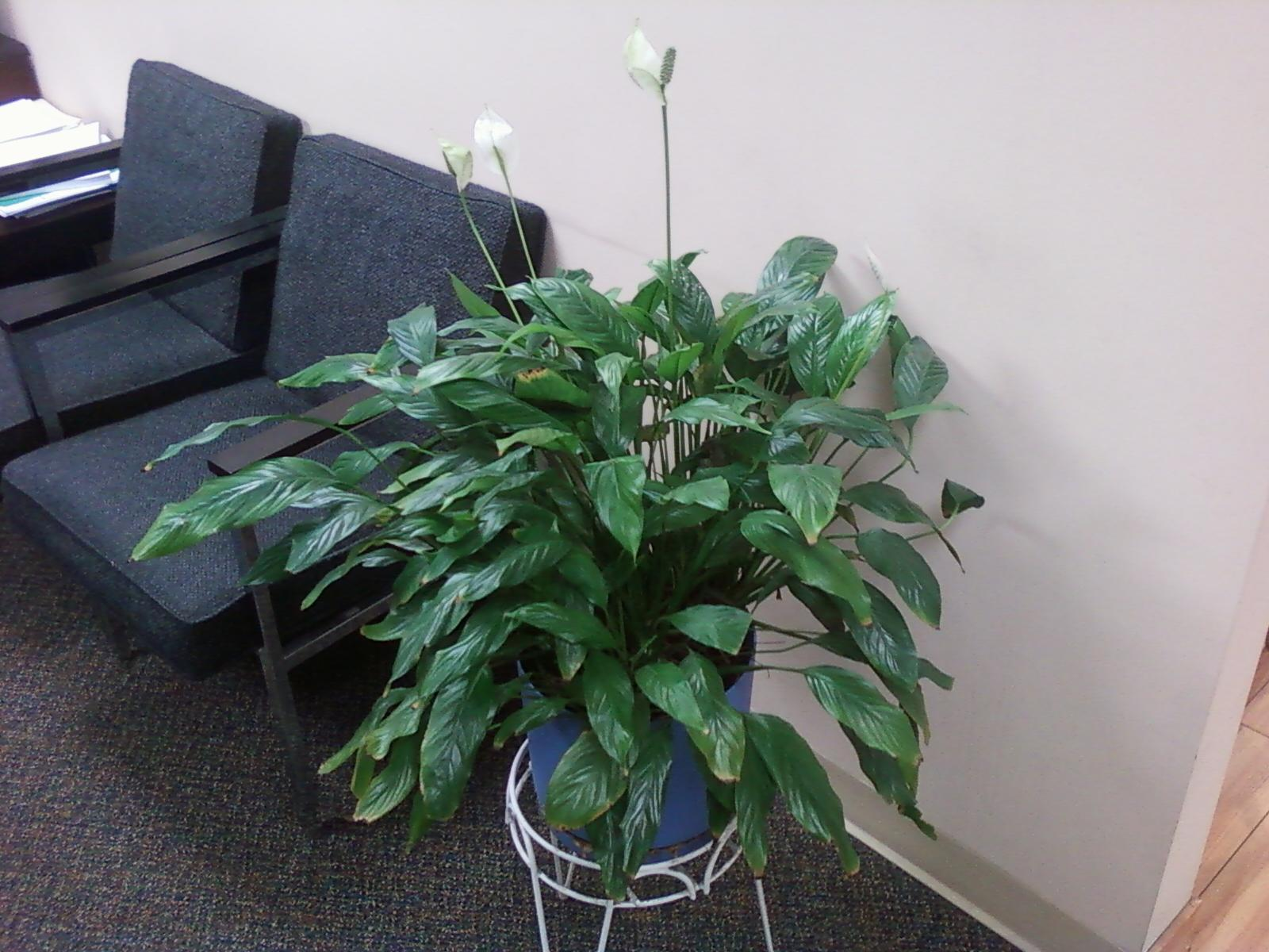 Peace lily blooms turning brown blogdeinformatica peace lily blooms turning brown izmirmasajfo Choice Image
