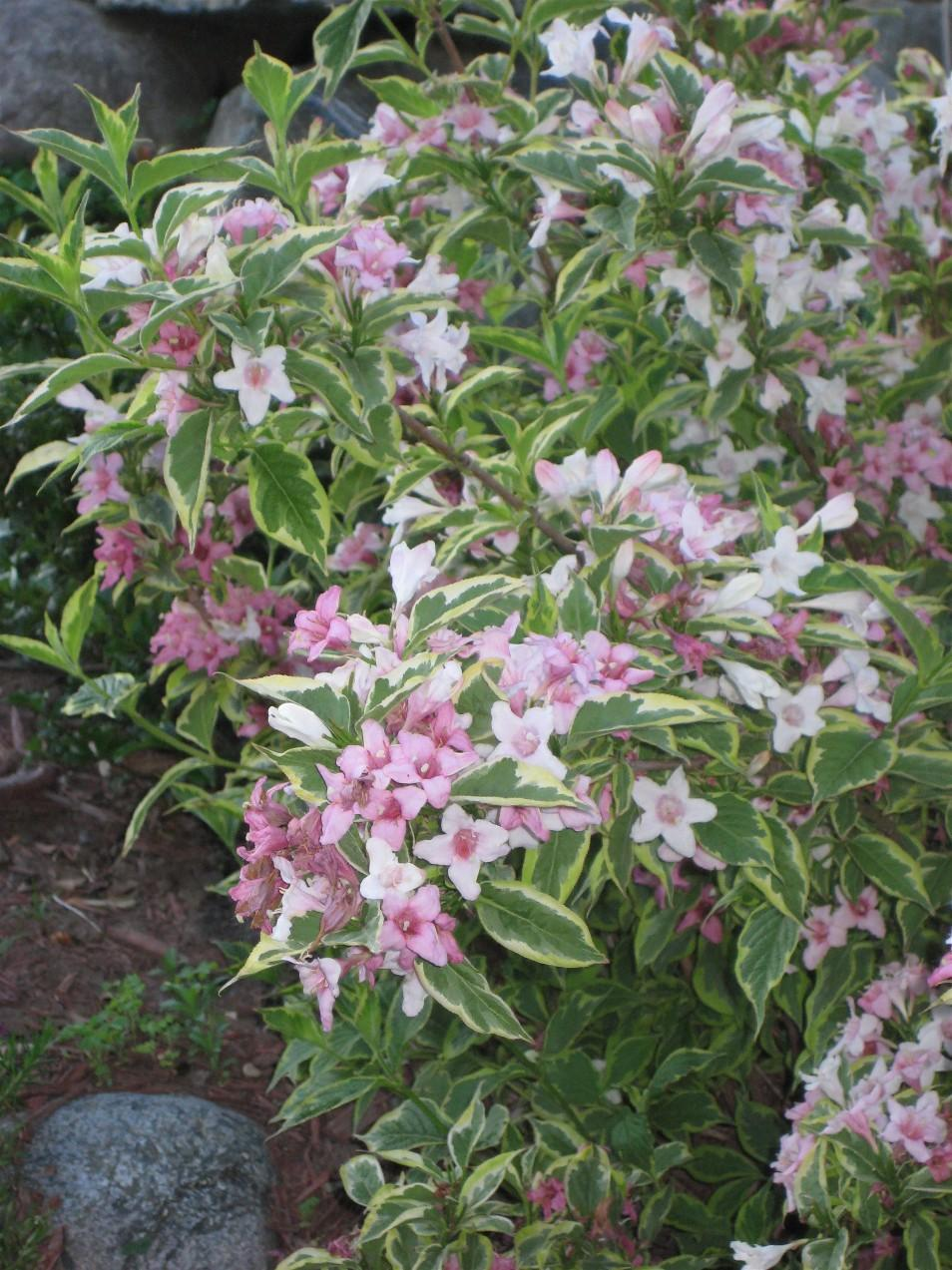 Weigela With Variegated Leaves And Pink Flowers