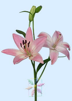 Lily Flower Information Lily Cut Flower Flower Shop Network