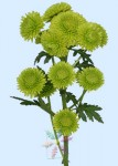 Chrysanthemum Green Pompons