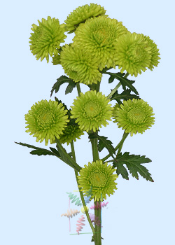 Chrysanthemum flower information chrysanthemum cut flower flower chrysanthemum green pompons mightylinksfo