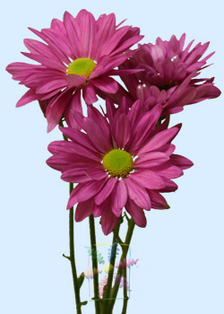 Chrysanthemum Pink