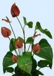 Brown Anthurium