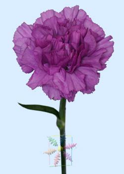 Carnation Flower Information | Carnation Cut Flower ... | 250 x 350 jpeg 23kB